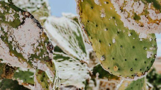 Close-up opuntia ficus-indica enfermo después de la peste cochinilla