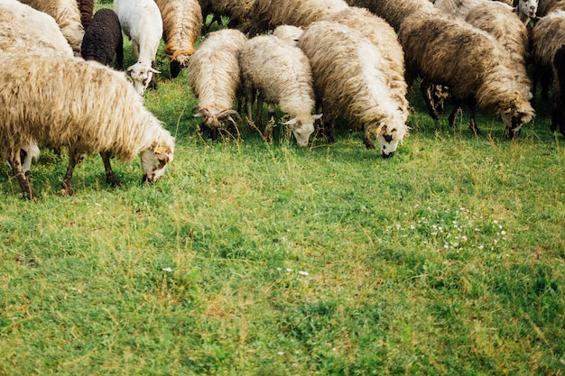 Close-up ovejas comiendo hierba en pasto