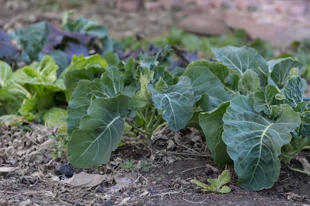 Close-up de pequeñas plantas de repollo en el huerto orgánico