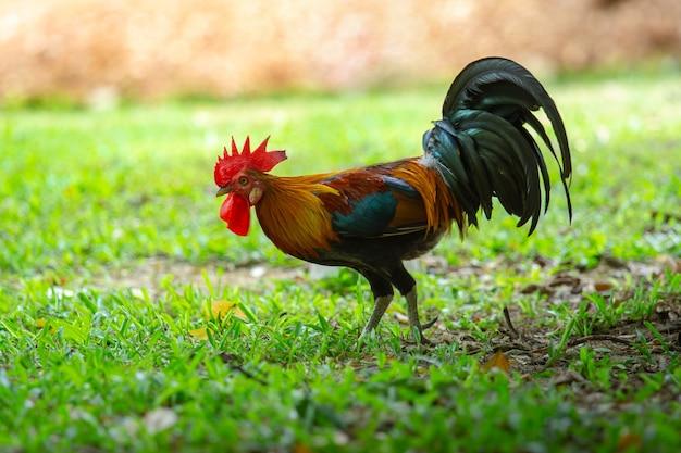 Close up retrato de gallo de tailandia en la hierba, aves de corral