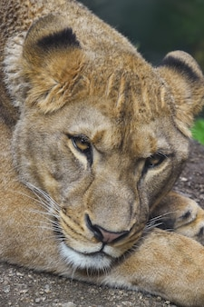 Close up retrato de hermosa leona africana hembra madura mirando a la cámara, un alto ángulo de visualización