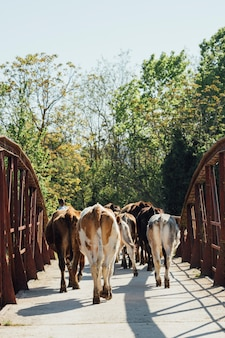 Close-up vacas caminando en el puente viejo