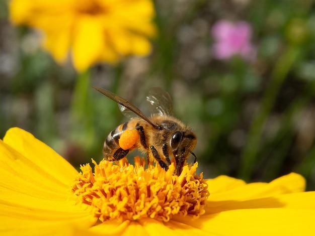 Closeup abeja polinizando flor amarilla en hermoso jardín