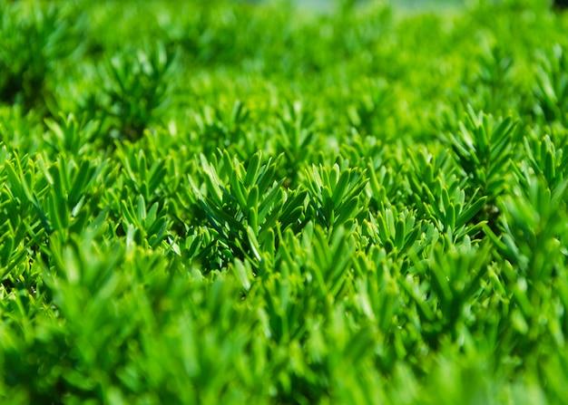 Closeup de arbustos recortados verdes