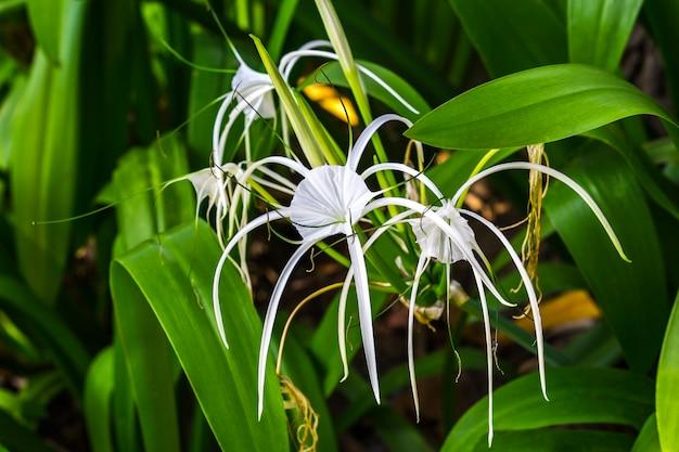 Closeup crinum asiaticum flores con hoja verde