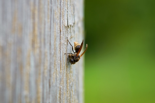 Closeup foto de una abeja en una superficie de madera con un fondo borroso