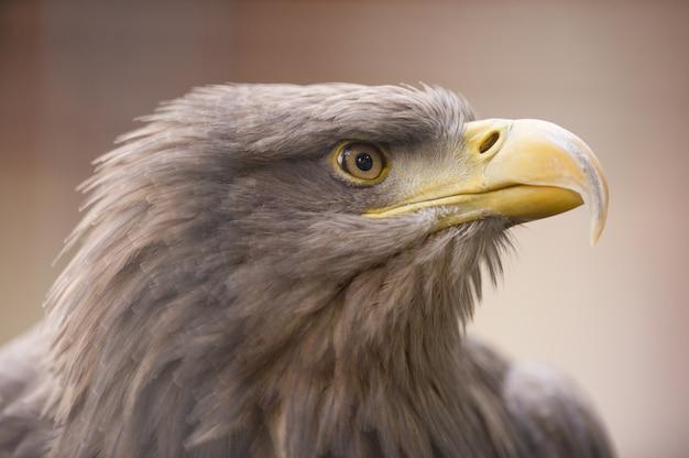Closeup foto de un águila real mirando a lo lejos