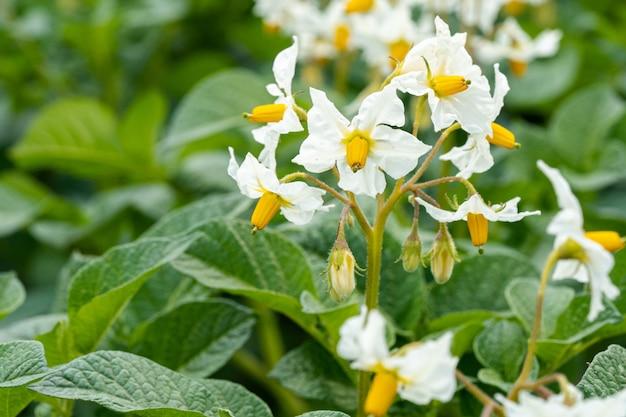 Closeup foto de bella flor de lirio de cervatillo de california con hojas verdes