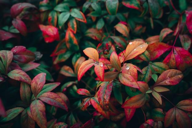 Closeup foto de coloridas hojas de otoño en un jardín.