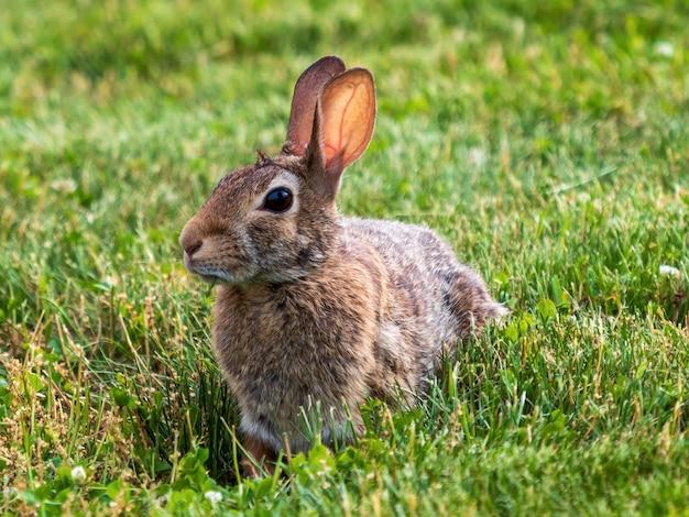 Closeup foto de conejito con pelaje marrón tendido en la hierba