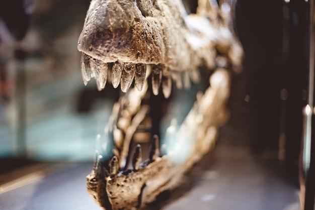 Closeup foto de un cráneo de dinosaurio dientes en una caja de vidrio