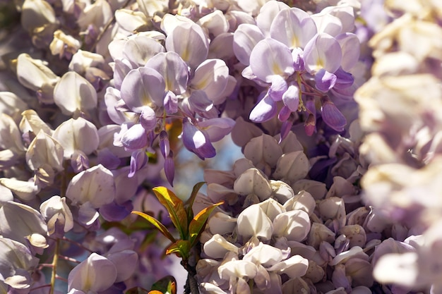 Closeup foto de flor de glicina bajo la luz del sol