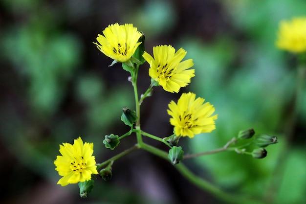 Closeup foto de flores amarillas de achicoria del desierto de carolina en flor con vegetación en la distancia