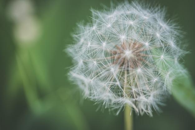 Closeup foto de una hermosa flor de diente de león que crece en un bosque con un fondo natural borroso