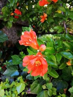 Closeup foto de hermosas flores rojas de caesalpinia en un jardín.