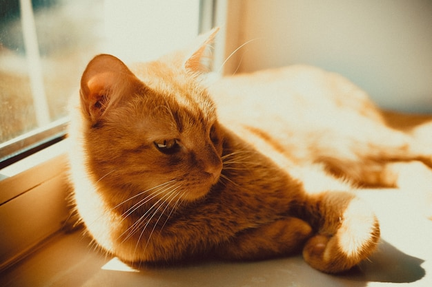 Closeup foto de un hermoso gato dorado acostado en el alféizar de la ventana