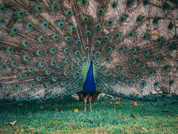 Closeup foto de un hermoso pavo real en el parque durante el día