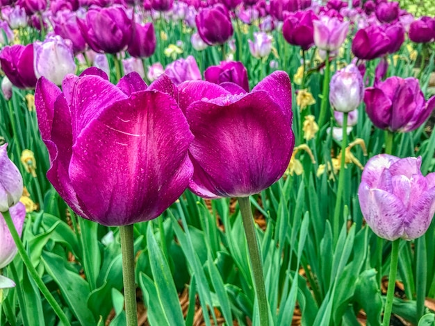 Closeup foto de hermosos tulipanes morados que crecen en un gran campo de flores