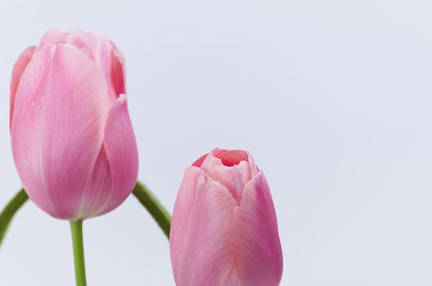 Closeup foto de hermosos tulipanes rosas sobre fondo blanco.