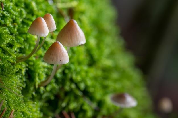 Closeup foto de hongos marrones cultivados en la hierba en un borroso