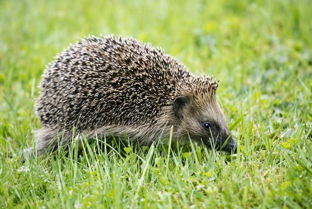 Closeup foto de un lindo erizo caminando sobre la hierba verde
