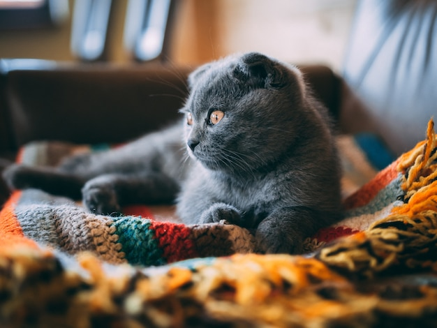 Closeup foto de un lindo gato gris sentado en una colorida manta en la habitación durante el día