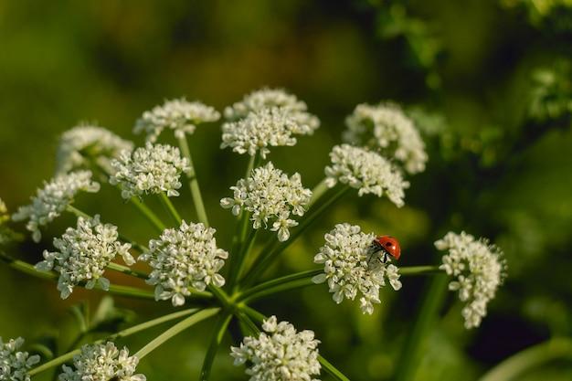 Closeup foto de una mariquita sentada en pequeñas flores blancas en un jardín