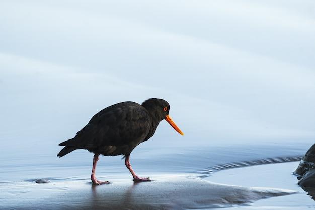 Closeup foto de un ostrero negro caminando sobre una orilla mojada con un fondo borroso