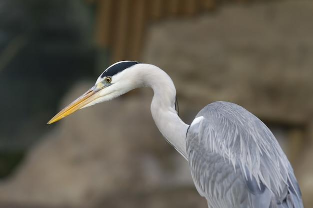 Closeup foto de un pájaro garza