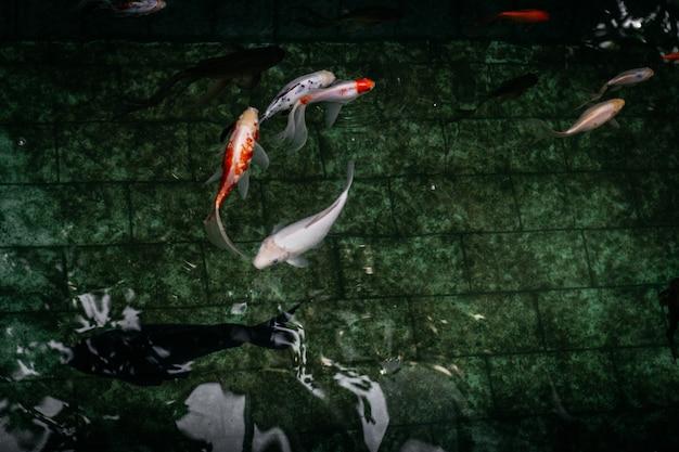 Closeup foto de peces koi en una piscina