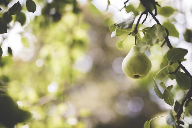 Closeup foto de una pera verde unida a una rama con un fondo borroso