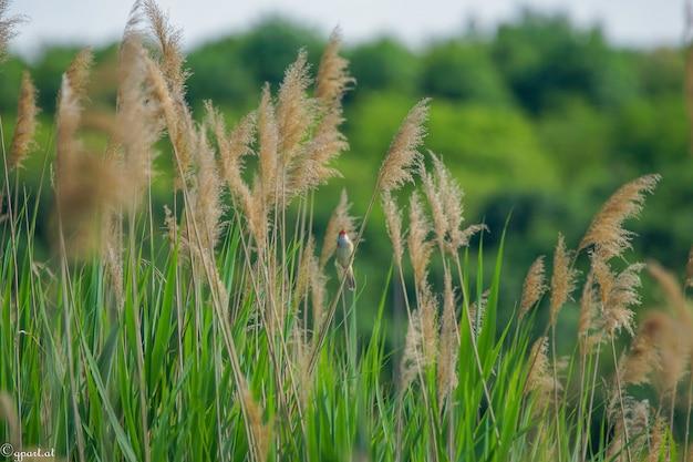 Closeup foto de ramas de caña común y un pequeño pájaro sentado en uno de ellos