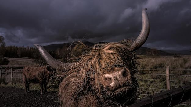 Closeup foto de un yak adulto detrás de una valla de madera en un granero en la noche