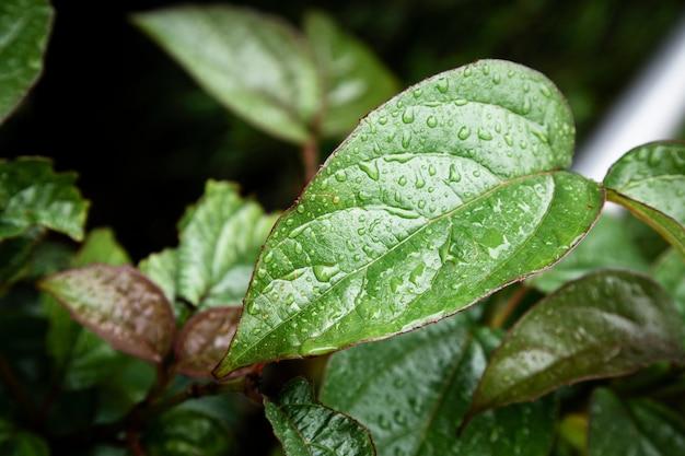 Closeup gotas de lluvia sobre hojas