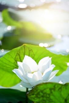 Closeup hermosa flor de loto rosa en el estanque.