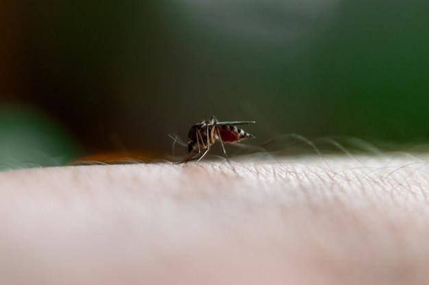 Closeup ofnasty insecto mosquito sentado con la mano y bebe la sangre de la piel perforada