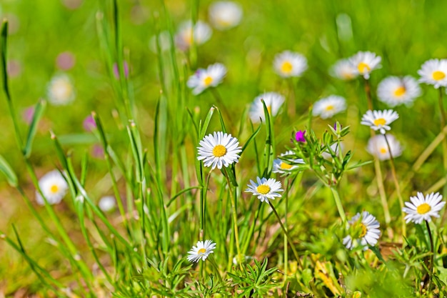 Closeup paisaje foto de flor de manzanilla blanca con hierba verde borrosa