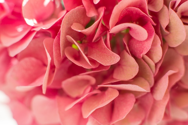 Closeup pétalos de hortensias frescas