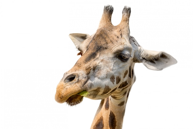 Closeup retrato de una cabeza de jirafa giraffa camelopardalis comiendo hojas aisladas sobre fondo blanco.