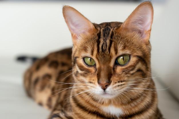 Closeup retrato de un encantador gatito de bengala delante de un sofá