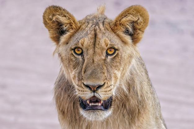 Closeup retrato de una leona salvaje mirando hacia el frente