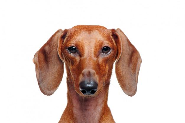 Closeup retrato de un perro salchicha aislado