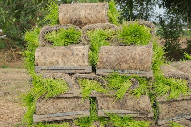 Closeup rollos de plántula de arroz