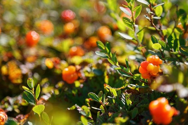 Cloudberry crece en el bosque. karelia del norte.
