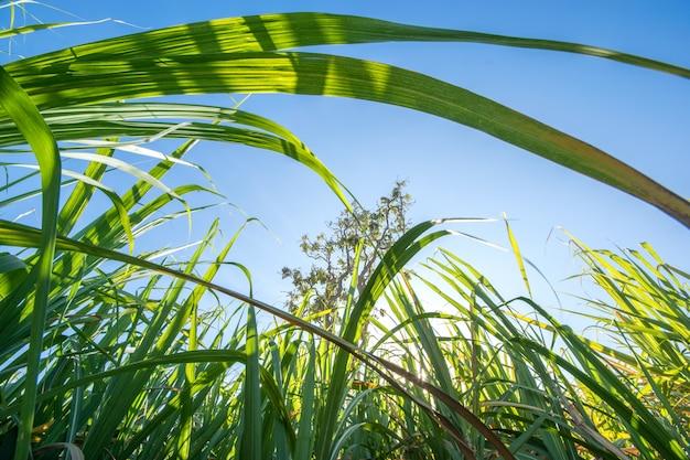 Clouse encima del campo de la caña de azúcar con el fondo de la naturaleza de los rayos del cielo azul y del sol.