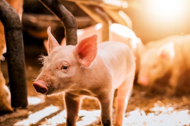 Cochinillo joven en heno en granja de cerdos