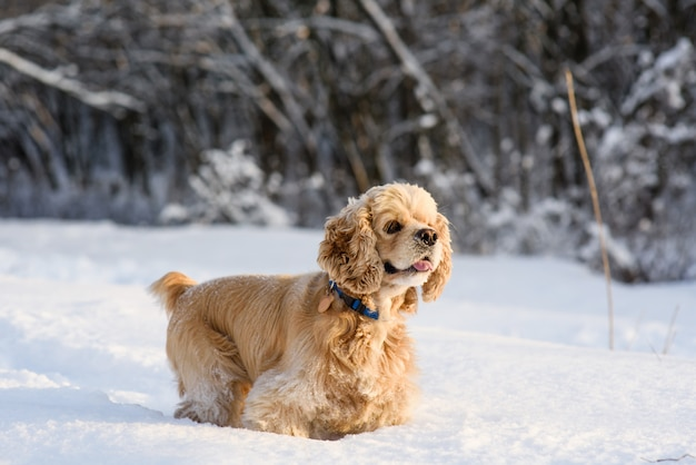 Cocker spaniel americano en bosque nevado