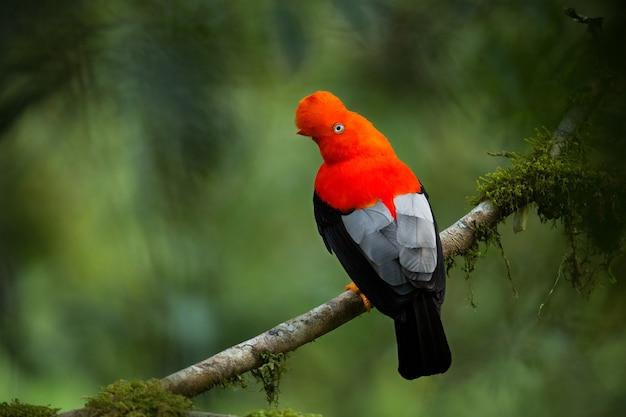 Cockoftherock andino en el hermoso hábitat natural de la vida silvestre de perú