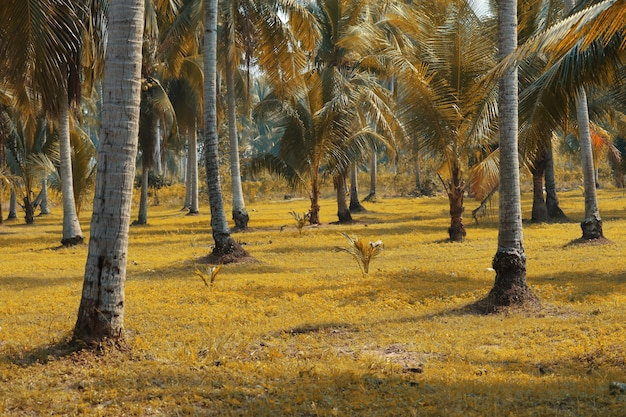 El coco es una planta económica importante que se puede utilizar en todas partes.