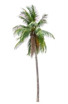 Coco o palmera aislado sobre fondo blanco para su uso en diseño arquitectónico o más.
